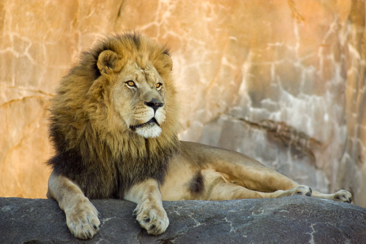 male lion at a zoo at sunset